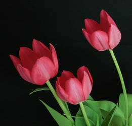 Pink Tulip Flower Stock 2