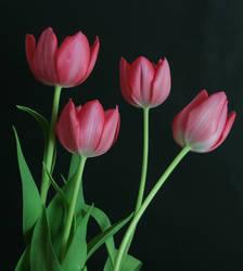 Pink Tulip Flower Stock 3