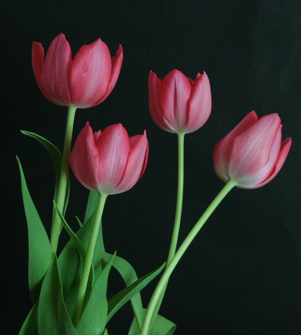 Pink Tulip Flower Stock 3 by AsiaStock