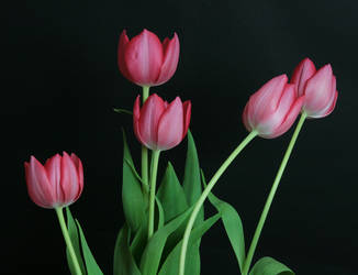 Pink Tulip Flower Stock 6