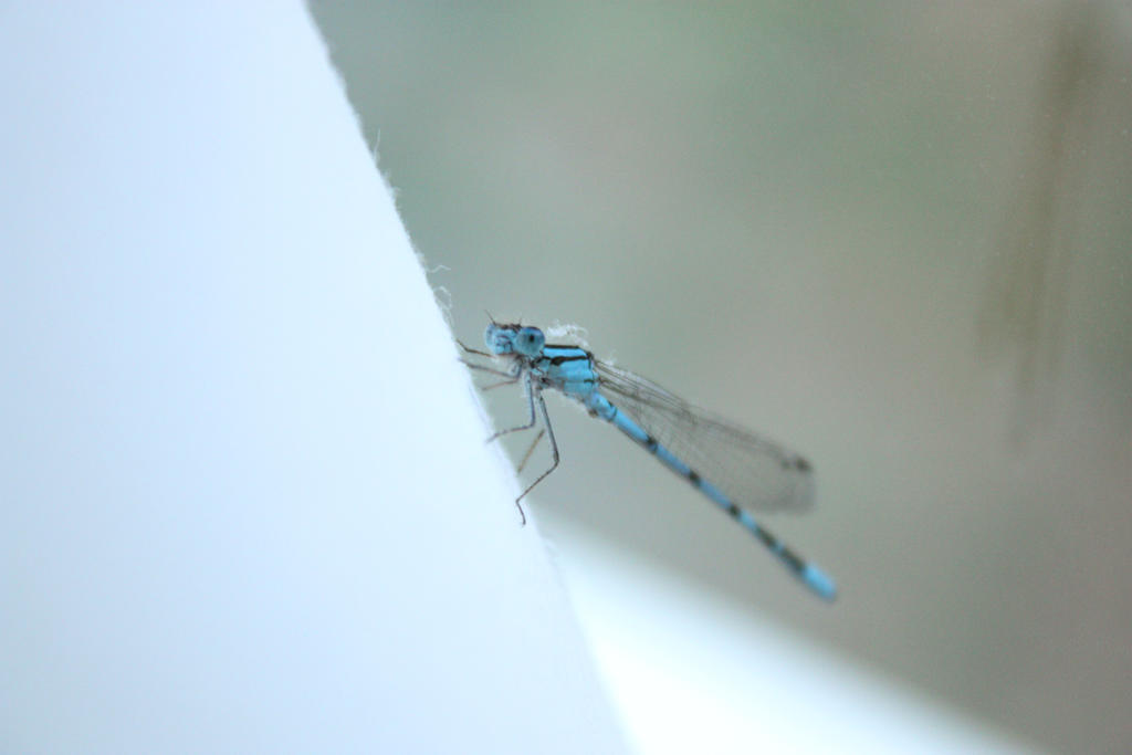 Dragon fly by Bindilover