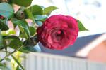 Camellia.