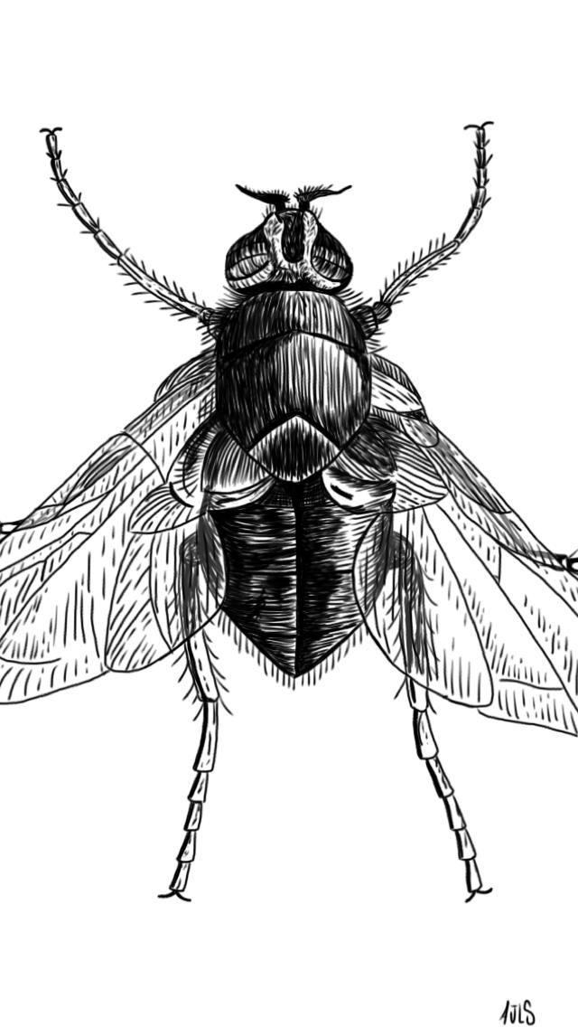 Protophormia terraenovae by alanloredosilva