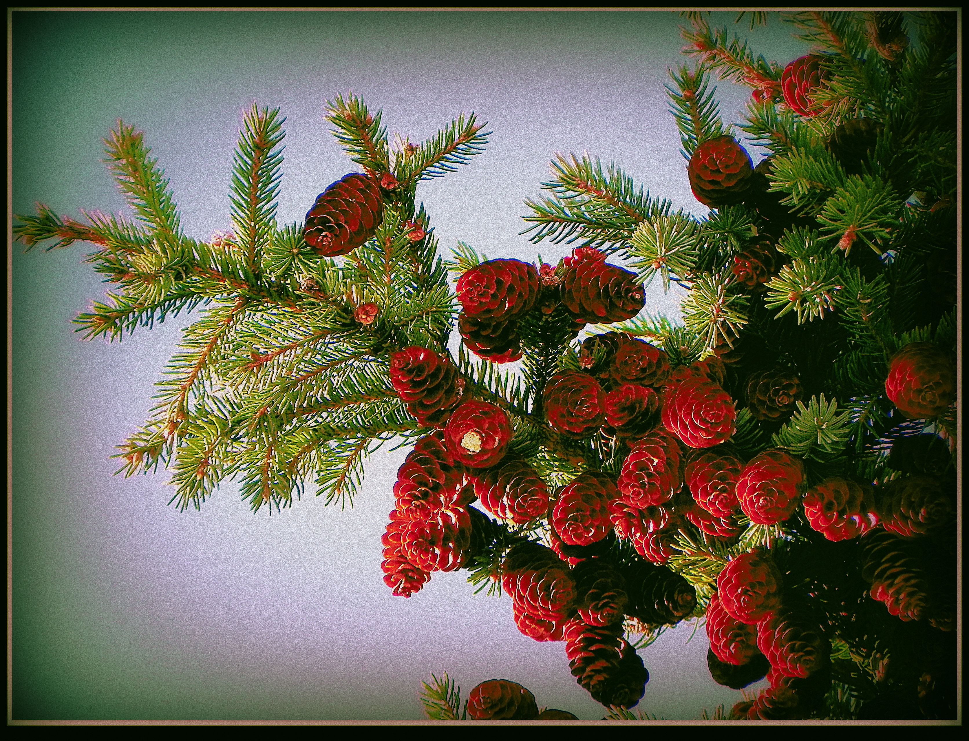 Spruce Cones by surrealistic-gloom