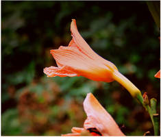 Day Lily blossoming by surrealistic-gloom