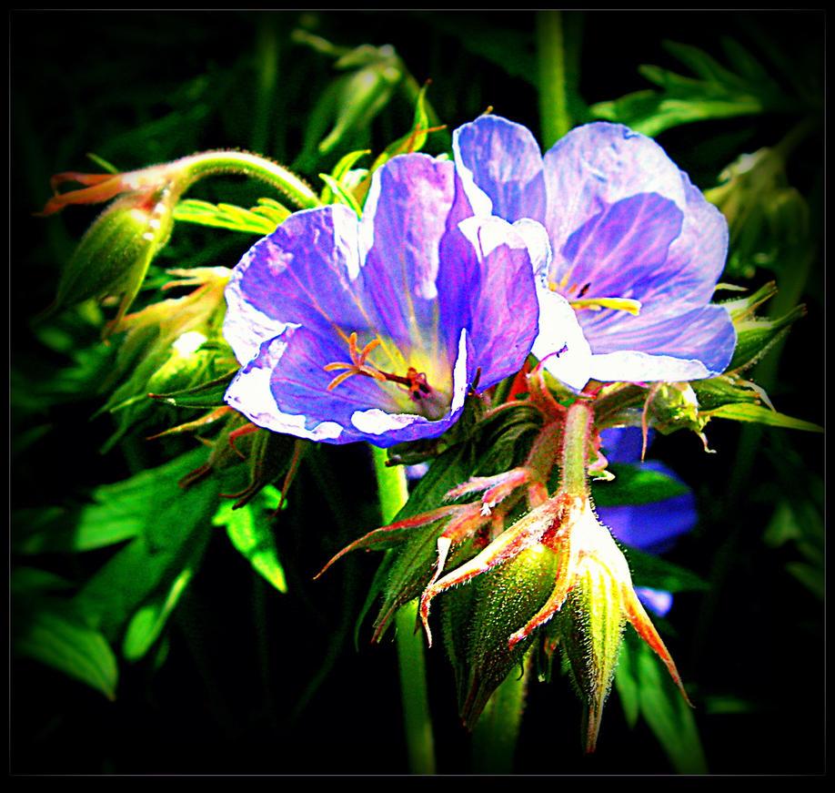 Blue Geraniums by surrealistic-gloom
