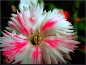 White and Pink Dianthus by surrealistic-gloom