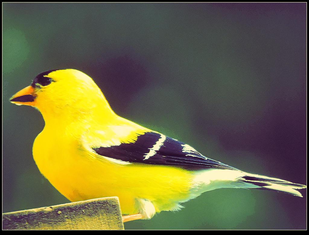 Yellow Bird by surrealistic-gloom
