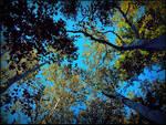 Birch Trees In September
