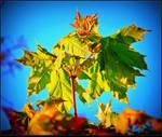 Blooming Maple Tree Leaves