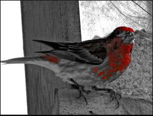 Wary Bird