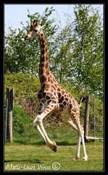 Girafe by mlaureweiss