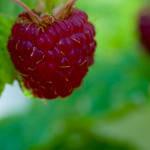 raspberry by tarynheart