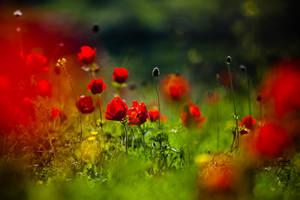 still love poppies by S-t-r-a-n-g-e
