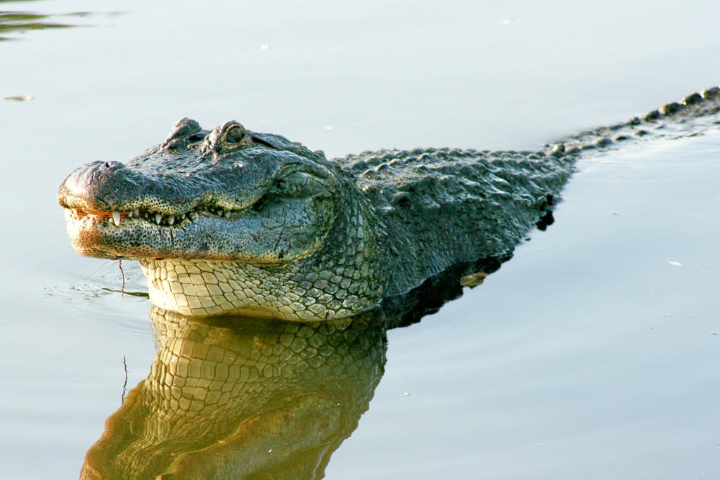 Gator Rising by Kippenwolf