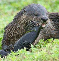 Dinner time for the Otter by Kippenwolf