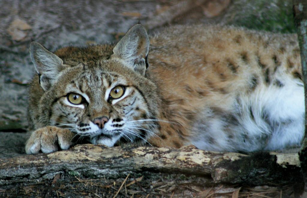 Lounging Bobcat by Kippenwolf