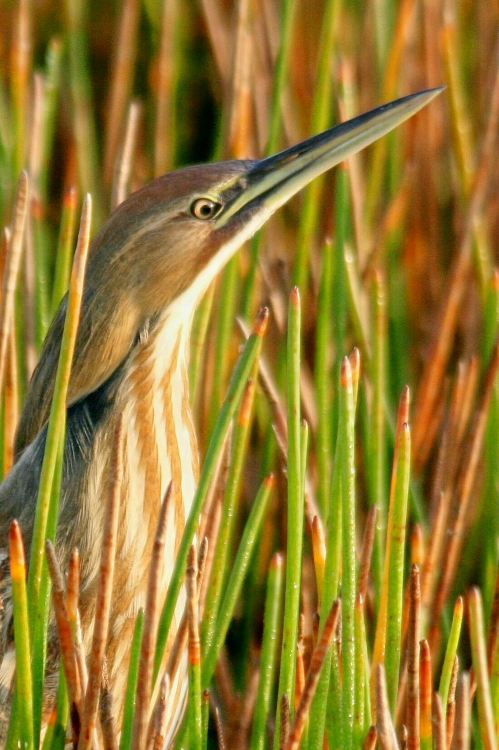 American Bittern Head shot by Kippenwolf