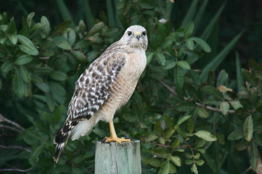 Red Shouldered Hawk on fence