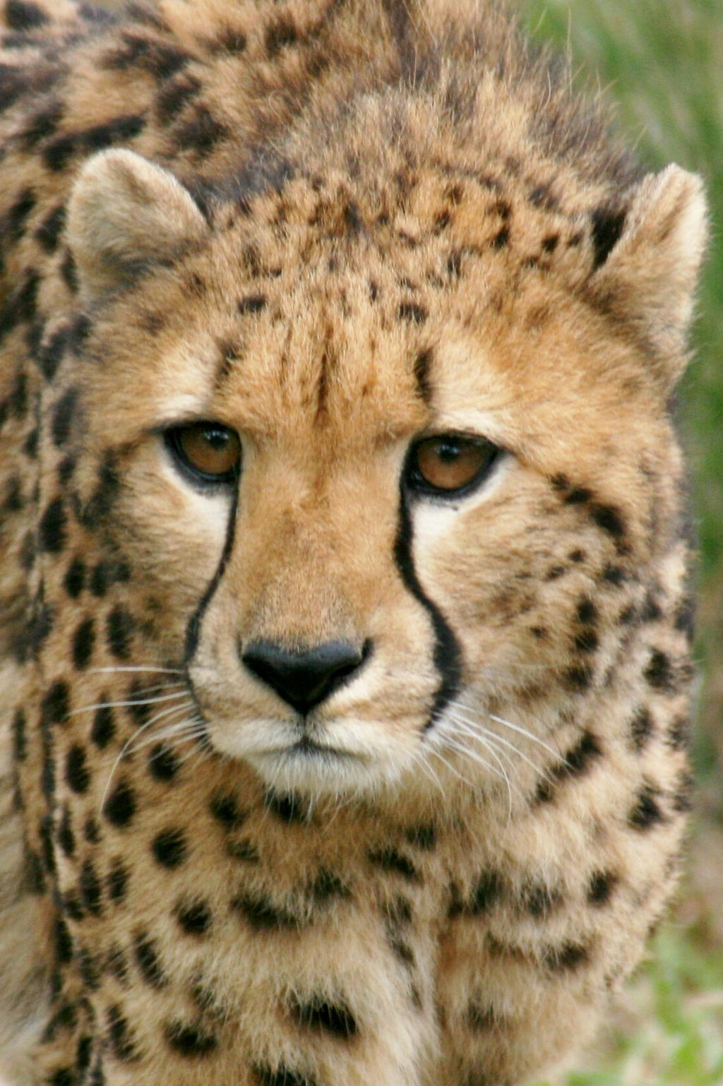 Brevard Cheeta Close Up by Kippenwolf