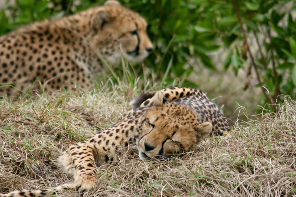 Cheeta Pair by Kippenwolf