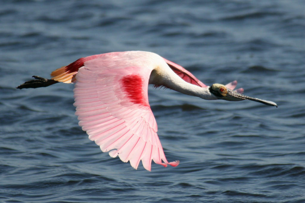 Spoonbill Flight 2 by Kippenwolf