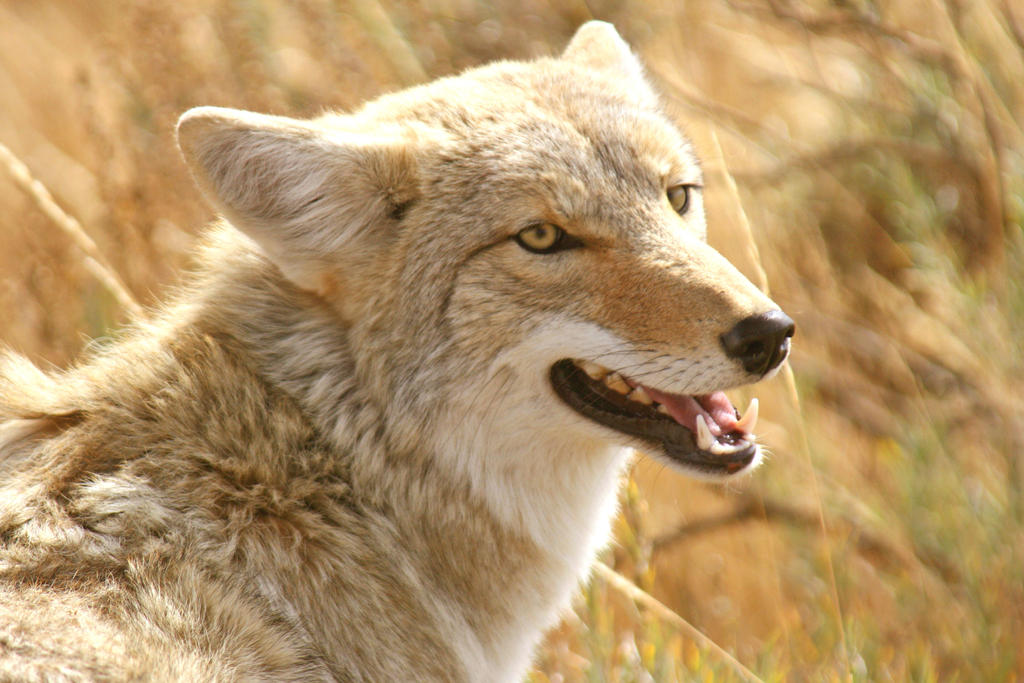 Smiling Yellowstone Coyote by Kippenwolf