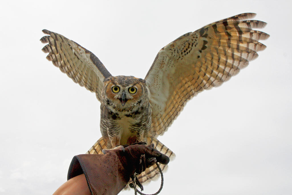 Great Horned Owl Wing Display by Kippenwolf