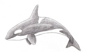 Pencil-Shaded Orca