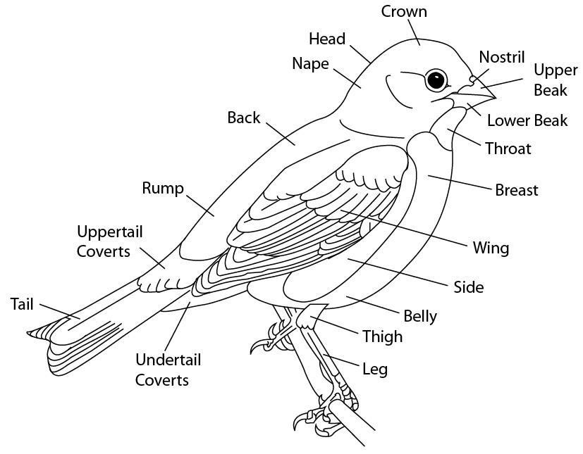 Line Drawing Artist Research : Bird scientific line drawing by kaevia on deviantart
