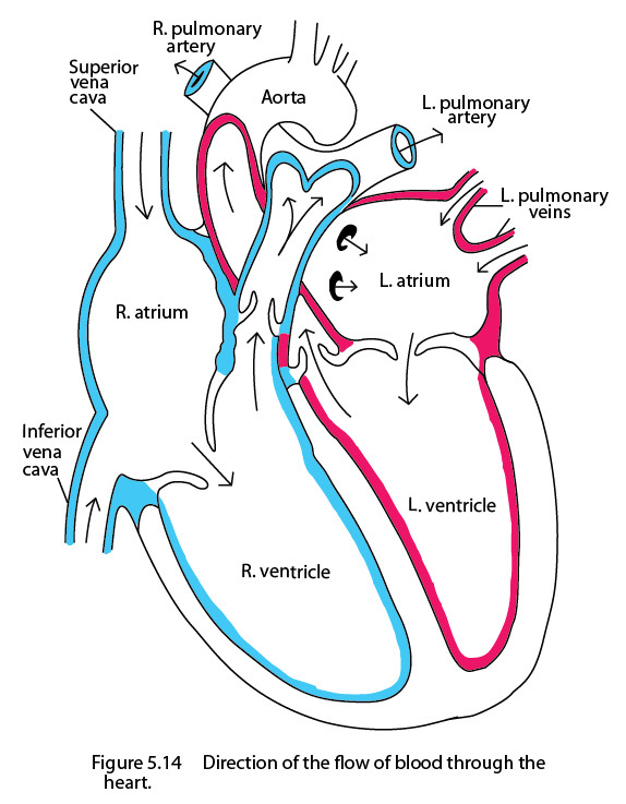 Heart Scientific Line Drawing by Kaevia on DeviantArt