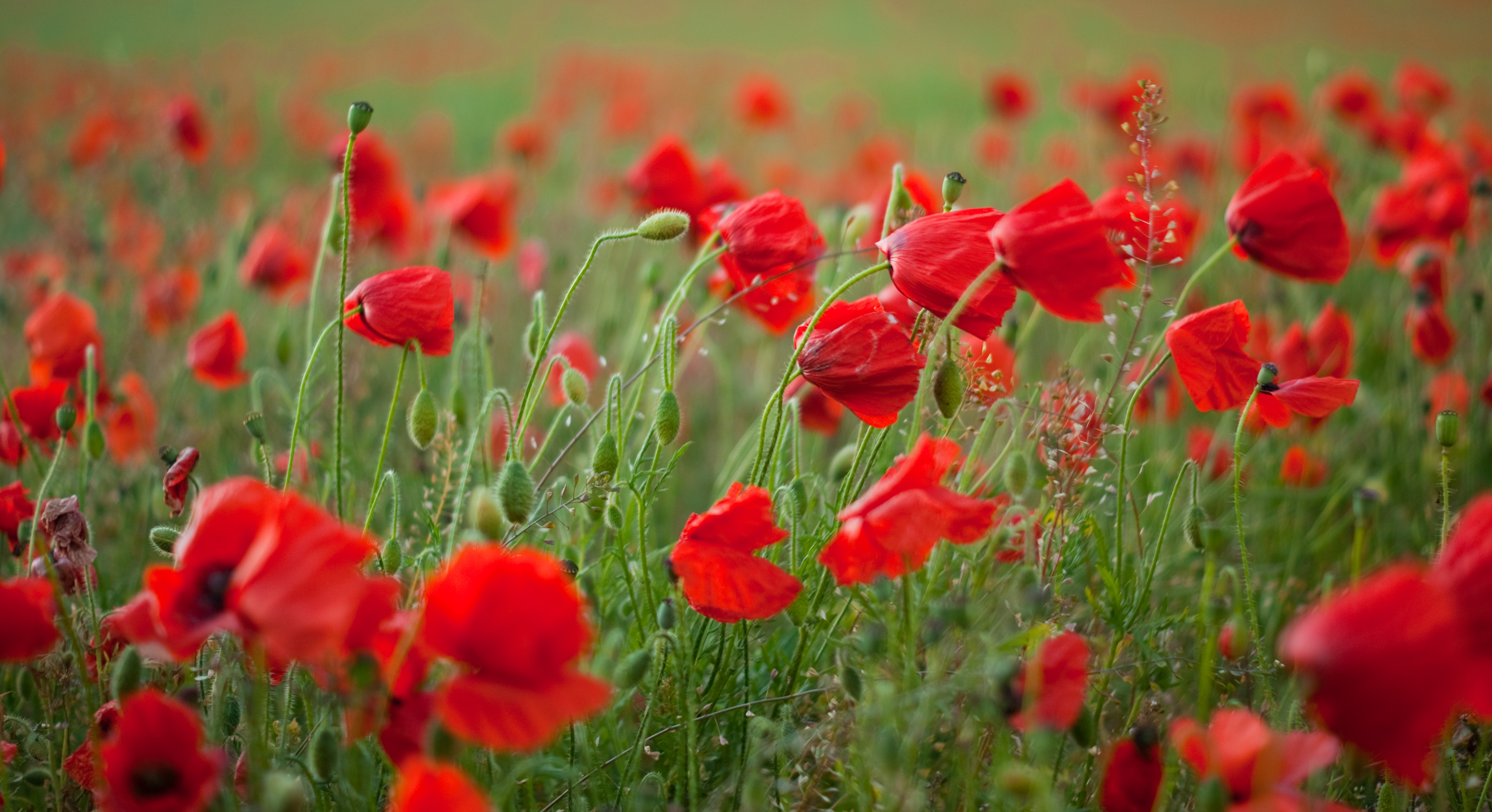 poppies in the wind -#main