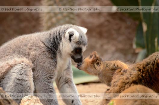 Baby Lemur Licks