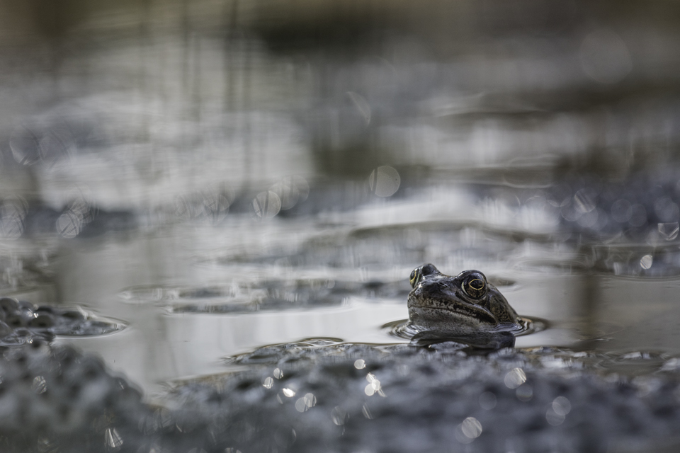 frog by Blubdi-Photography