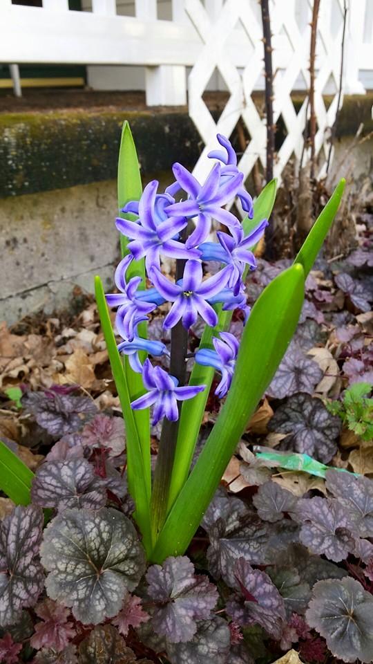 Hyacinth! by TheRebelWithNoCause