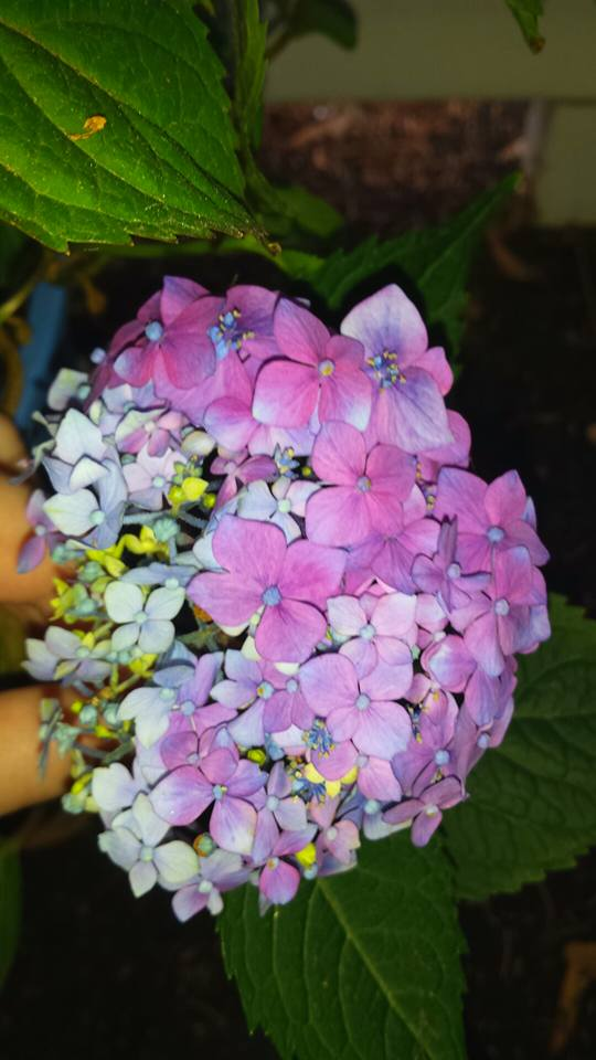 My Second Hydrangea!! by TheRebelWithNoCause