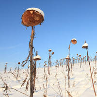 sunflowers in the winter III by indojo