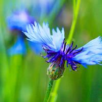 kings blue II by indojo