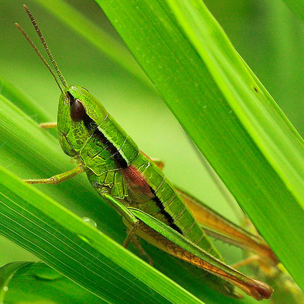 grashopper by indojo