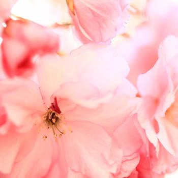 blossom by indojo