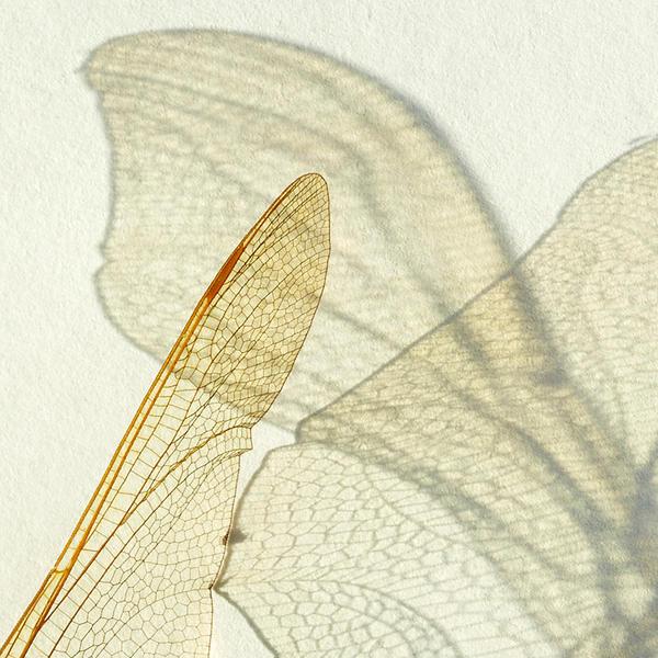 wings by indojo