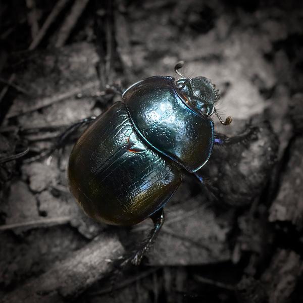 Black Bug Color by indojo