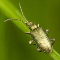 Golden Bug Square by indojo
