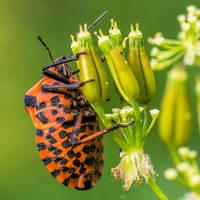 Striped Bug by indojo
