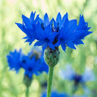 Blue Crown by indojo