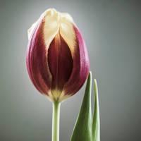 Tulip by indojo