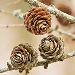 Wooden Roses by indojo