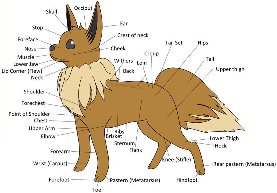Eevee Anatomy by Myoijin on DeviantArt
