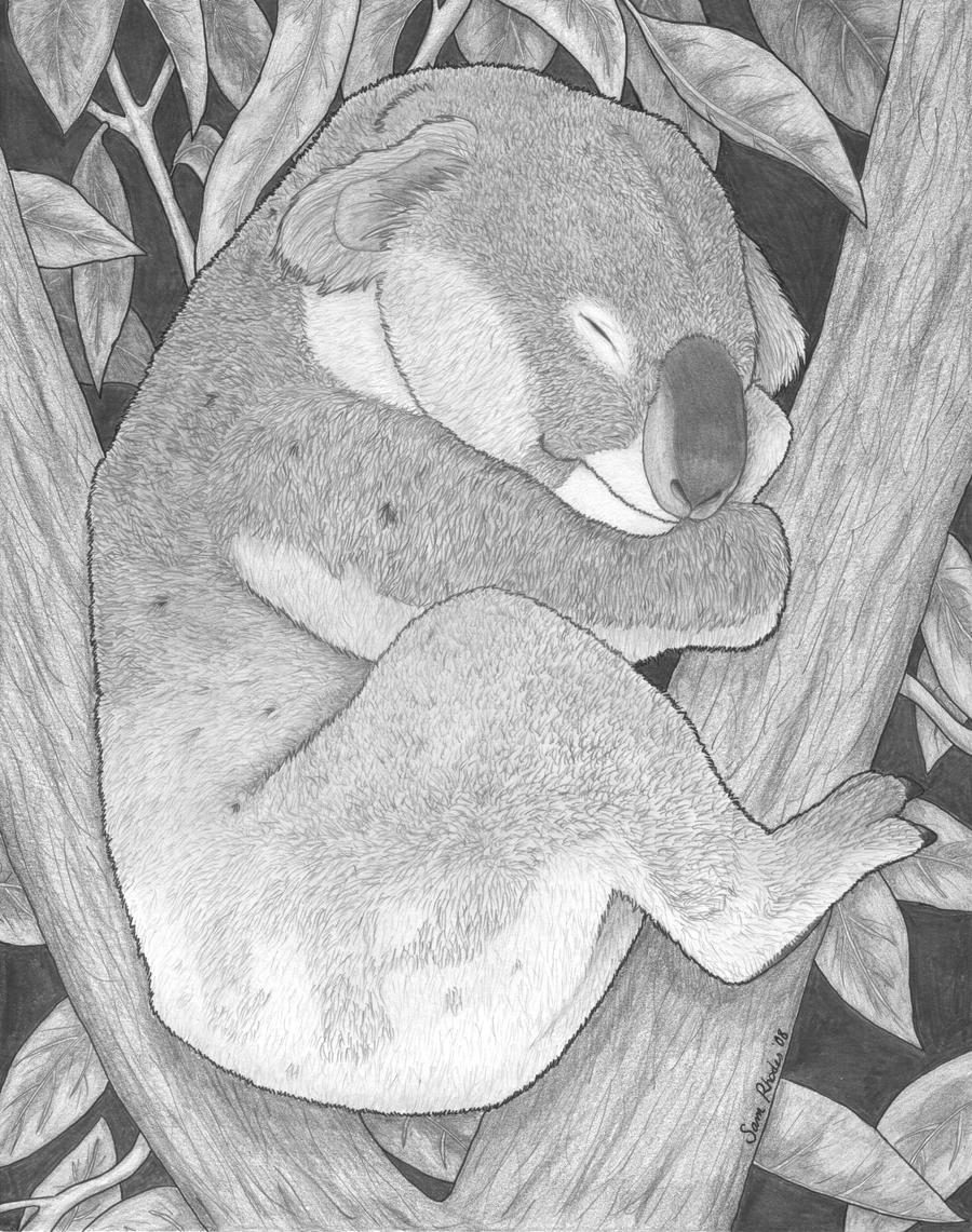Koala by samrhodes