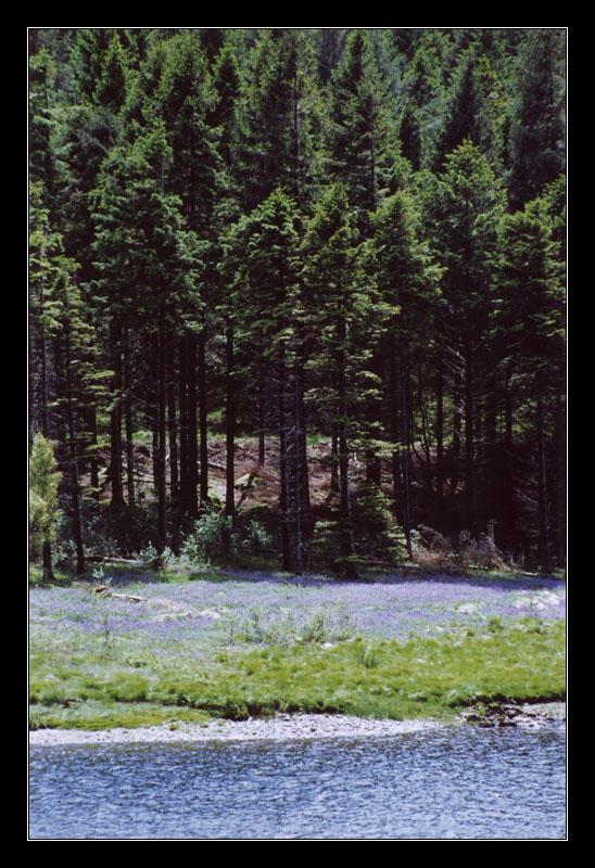 Bluebell Treeline by ash